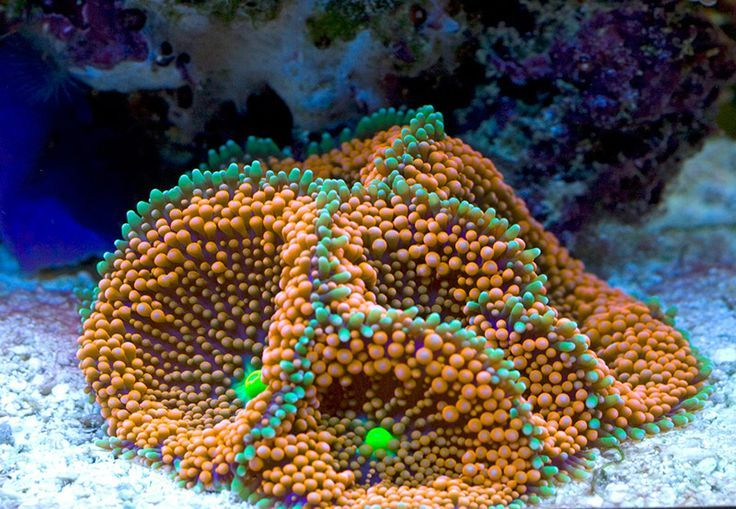 Orange Ricordea Mushroom Orange Ricordea Mushroom Coral Reef Aquarium Life Under The Sea Sea And Ocean