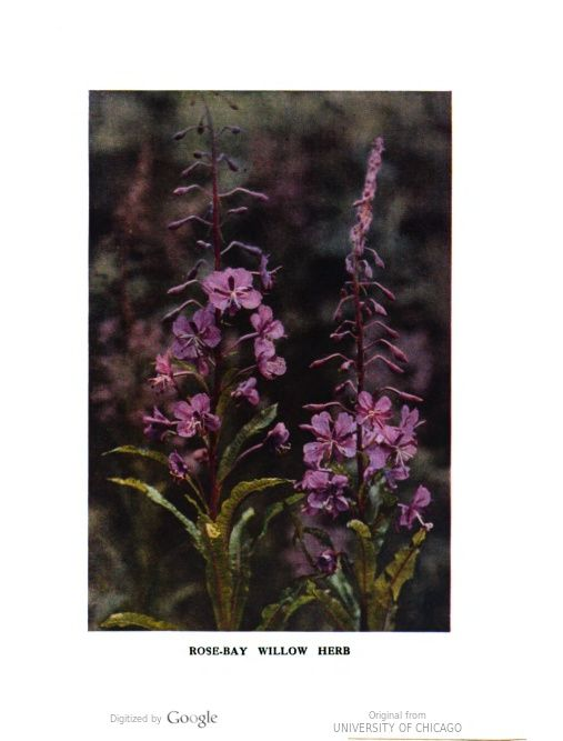 Rose Bay Willow Herb Photo By H Essenhigh Corke Wild Flowers As They Grow With Images Rose Bay Wild Flowers Colour Photograph