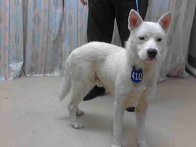 Nikko Houston Texas Petharbor Com Animal Shelter Adopt A