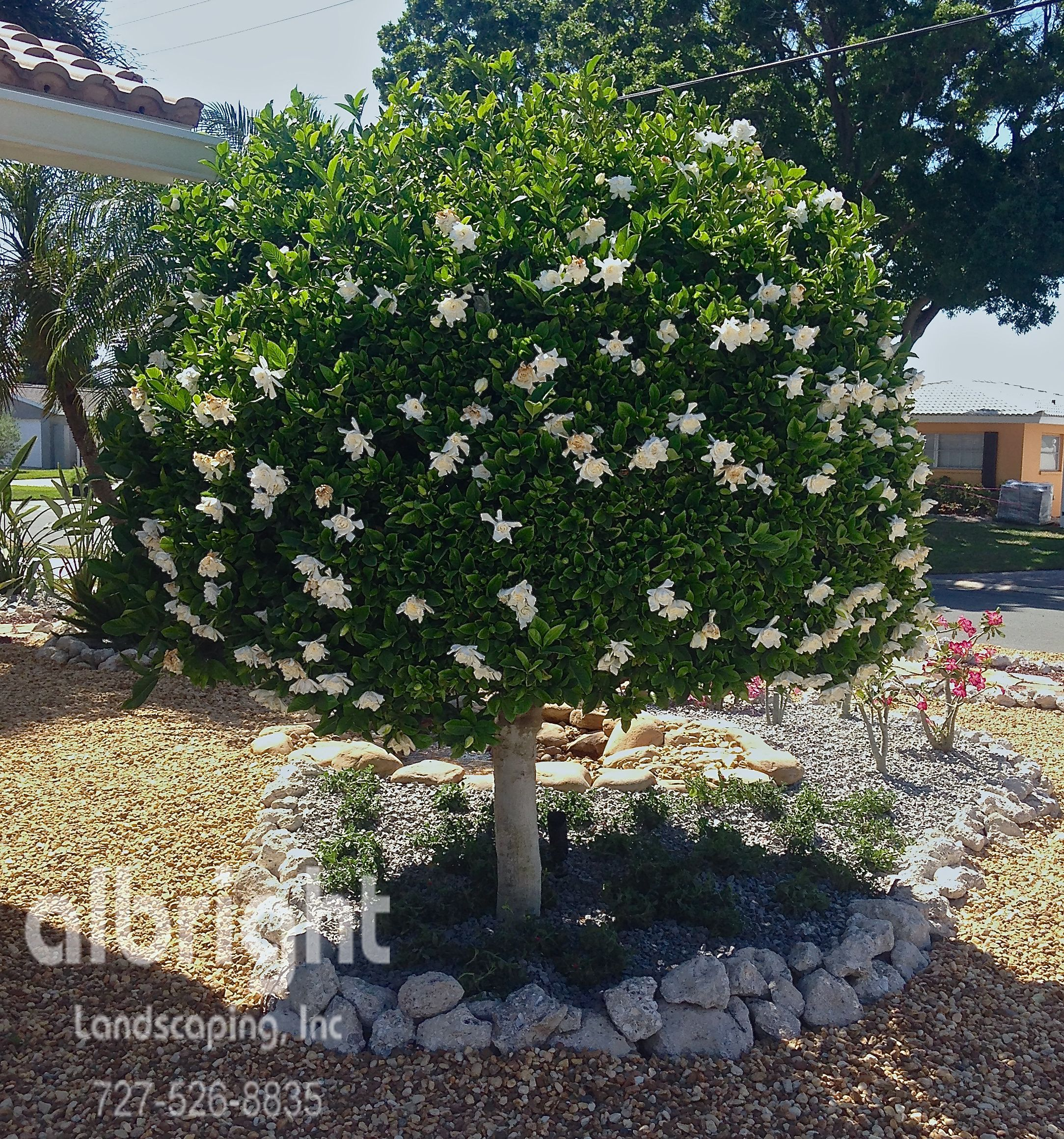 Growing Gardenia In Pot Complete Guide Gardenia Plant Growing Gardenias Gardenia Trees