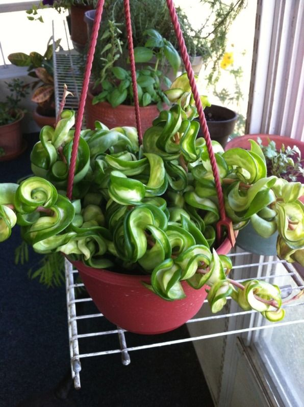 Hindu rope plant hoya carnosa unusual plants Weird plants to grow indoors