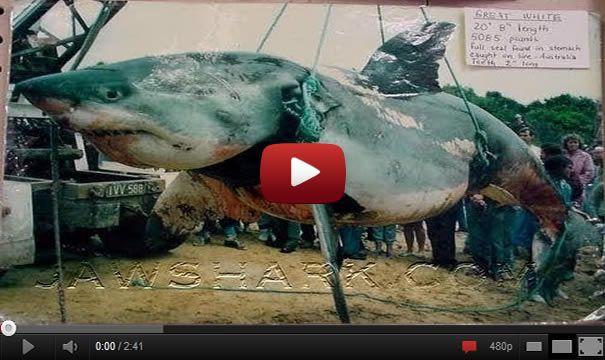 worlds biggest shark ever caught wwwimgkidcom the