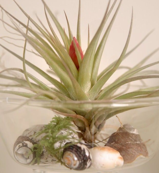 50 Creative Ideas To Display Your Air Plants In A Most: Creative Ways To Decorate With Air Plants