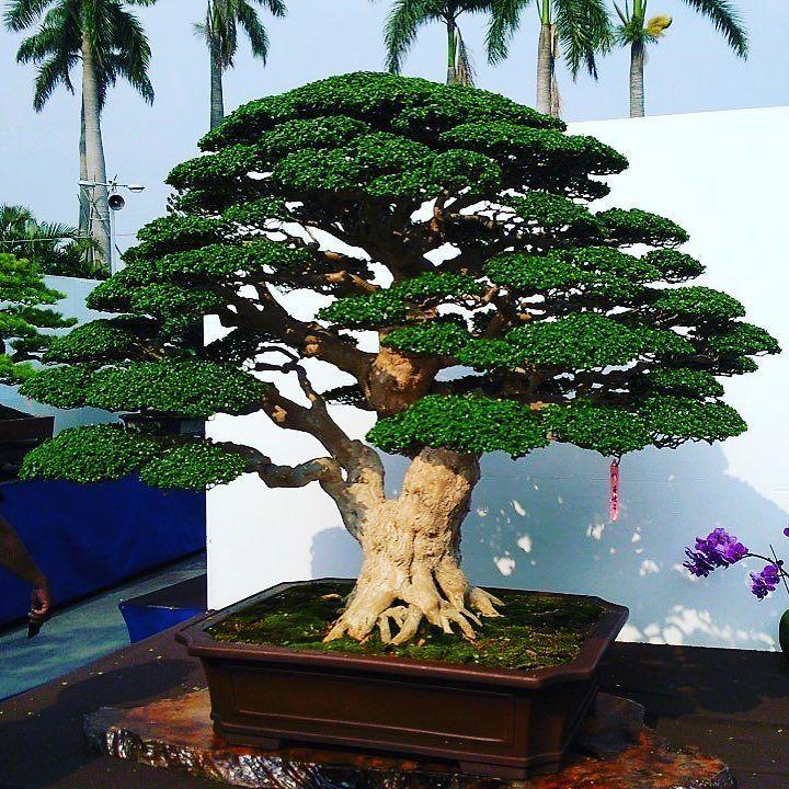 Bonsai bonsaitree bonsaijapan bonsaikennels for Vivero de plantas exoticas
