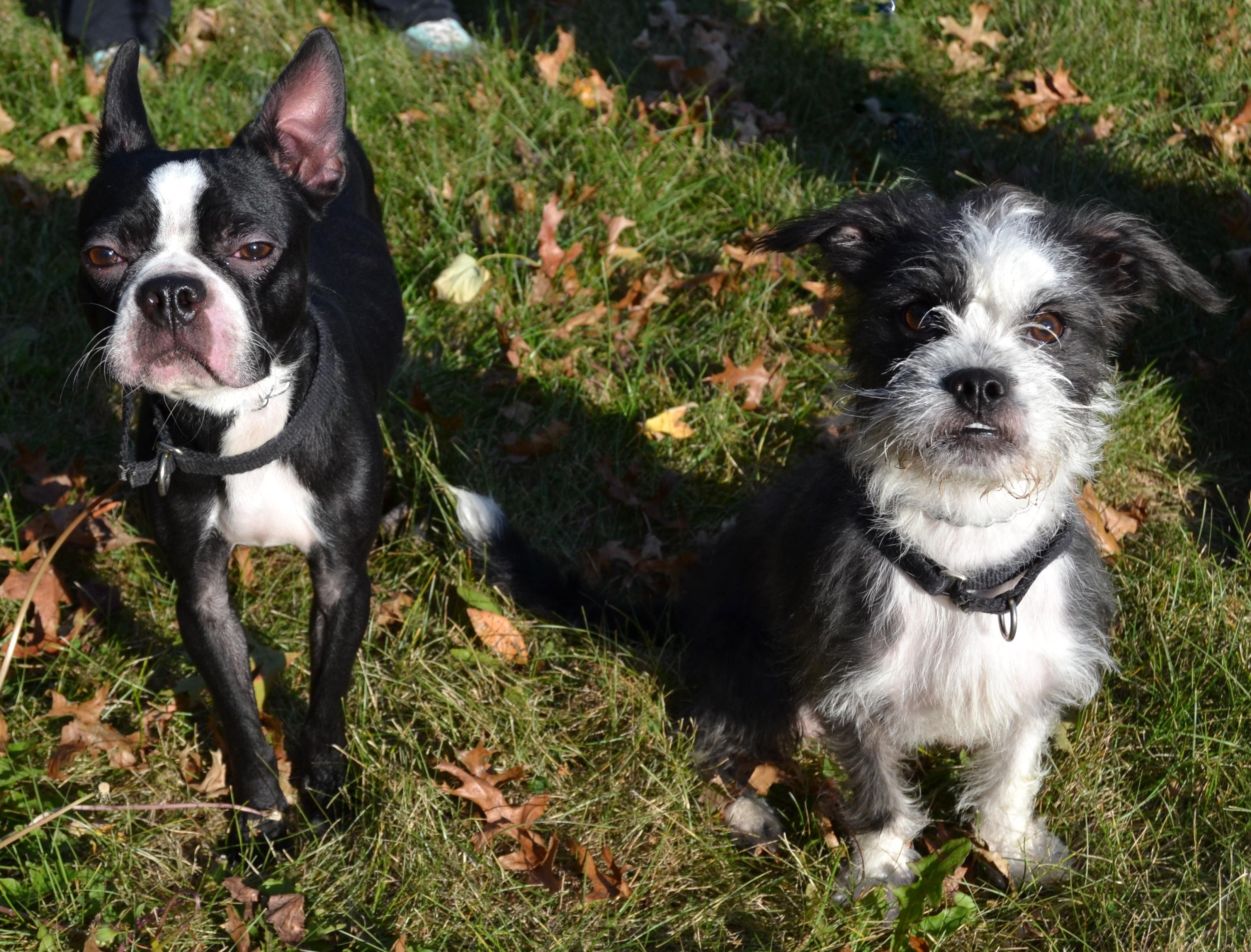 Max And Louis Is An Adoptable Boston Terrier Shih Tzu Dog In Michigan City In Max 4 Year Old Boston Terrier And Louis 1 Y Dogs Boston Terrier Shih Tzu Dog