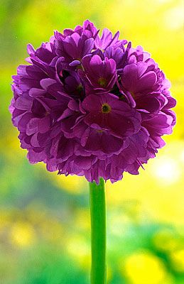 Pin By Penny Calloway On Perrineal Flowers Beautiful Flowers Amazing Flowers Purple Flowers