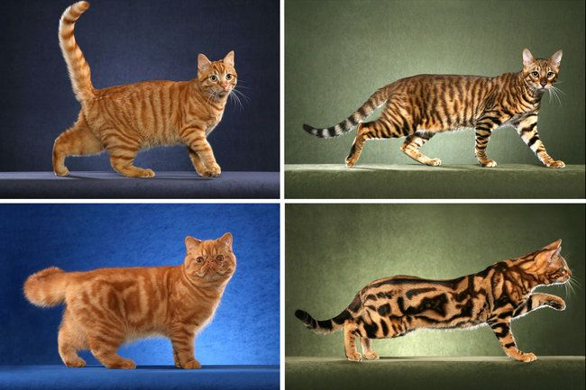 Cats' Stripes and Spots Are Tracked to a Gene NYTimes