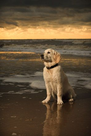 Beach Portrait Of Golden Retriever Puppy Dogs Retriever Cute