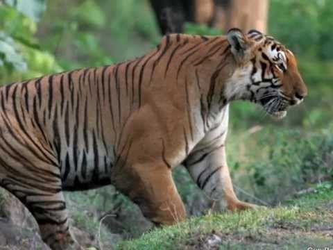 muscular tiger - Google Search | Power animal, Lion paw ...