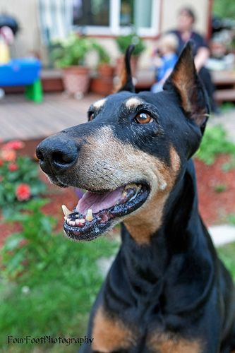 Four Foot Photography Doberman Pinscher Beautiful Dogs