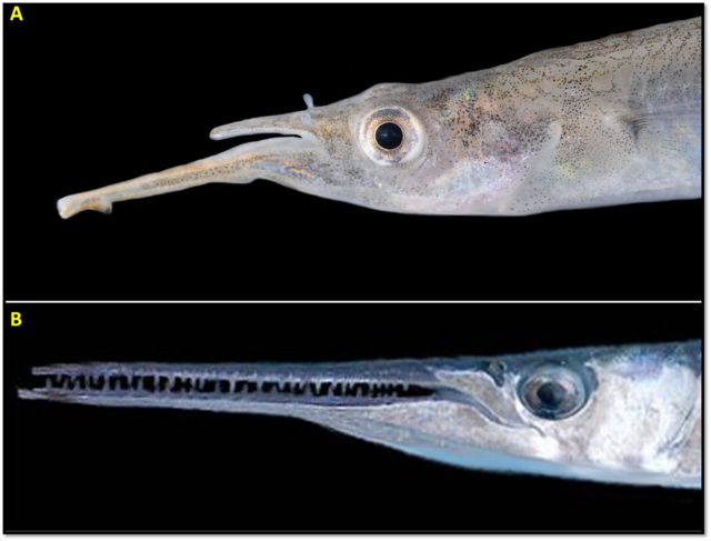 Jaws Of Halfbeaks And Needle Fish Aquarios