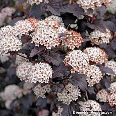 This hardy shrub creates multi-seasonal interest with showy flowers, fruit and deep-colored foliage. Ninebark Monlo attracts beautiful winged wildlife to the garden and will bloom in late spring. PP