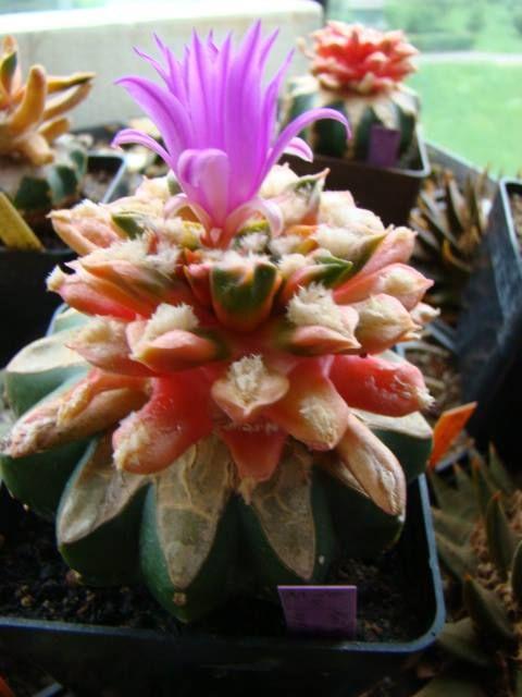 This May Be Ariocarpus Hybrid Cv Rubra Variegata Cultivar