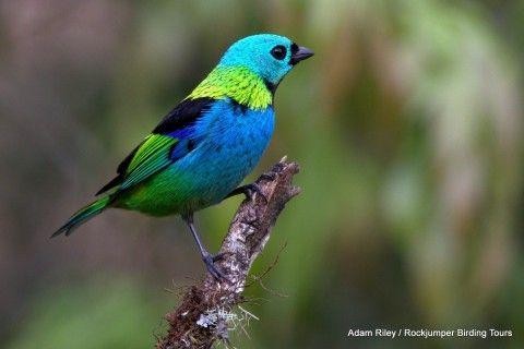 tangara de cabeza verde se encuentra en los bosques atlánticos del sudeste de Brasil, este de Paraguay y el noreste de Argentina.  Ellos permanecen ocultos en el pabellón alto la mayor parte del tiempo ... (http://www.rockjumperbirding.com/)