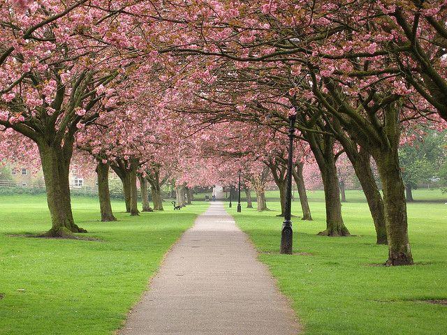 Cherry Blossom Time Cherry Blossom Festival Cherry Blossom Blossom Trees