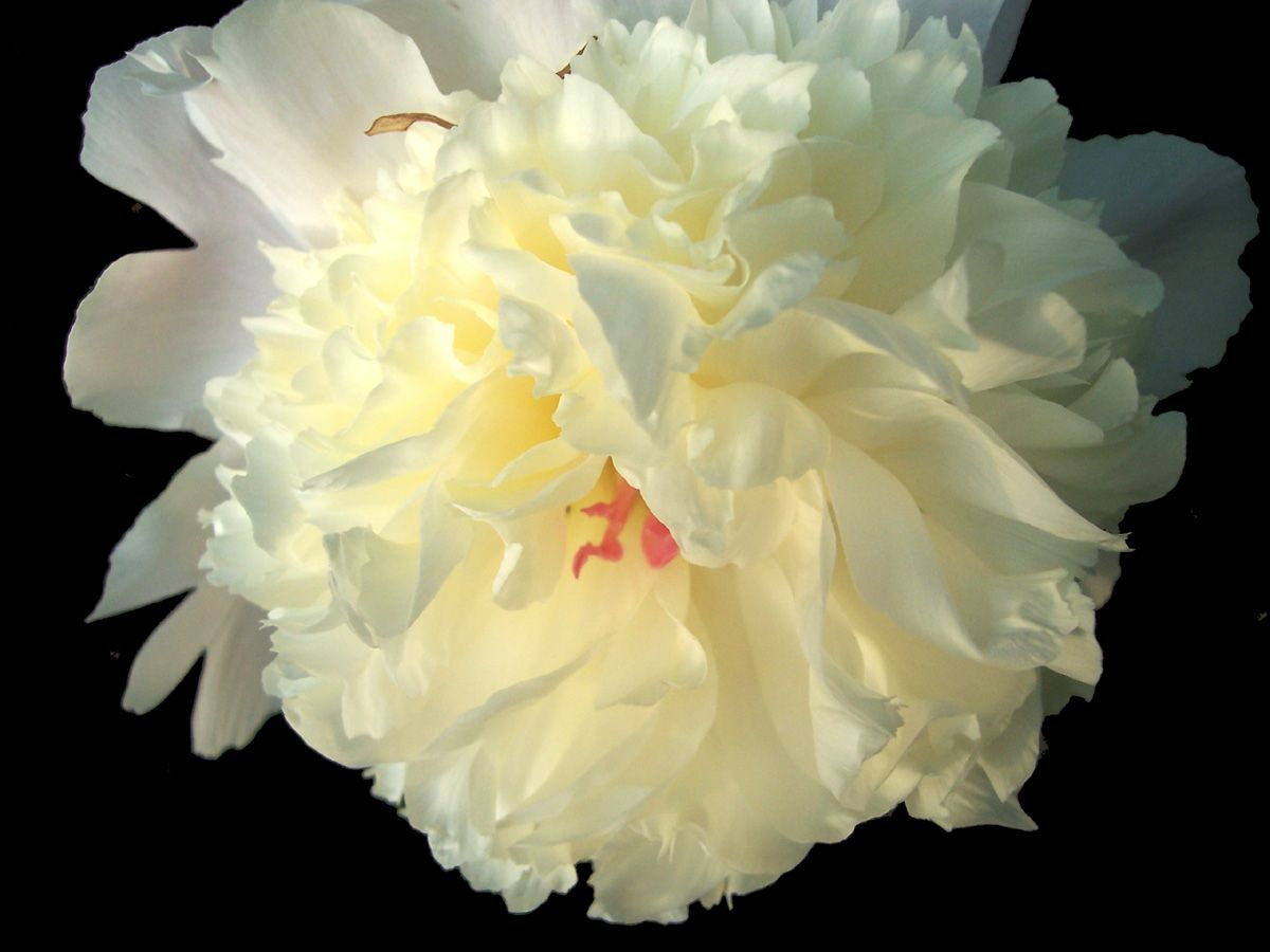 Stopping To Smell The Peony Picture Peony Flower Pictures