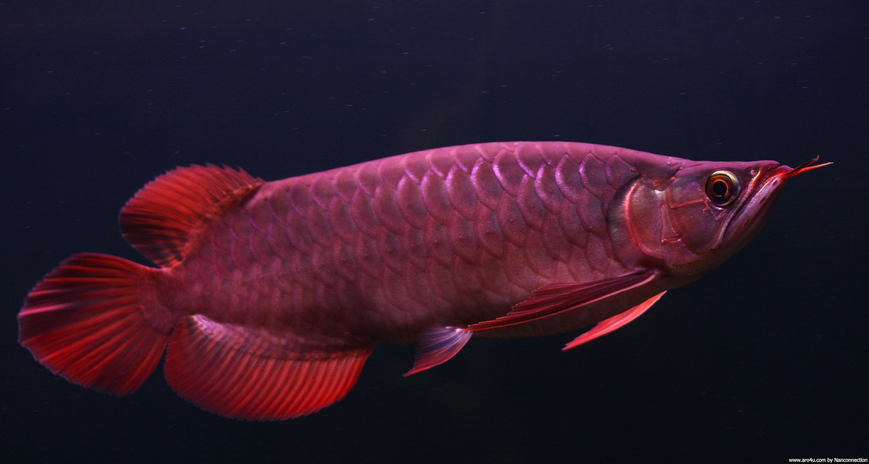 download golden red arowana fish wallpaper hd picture desktop