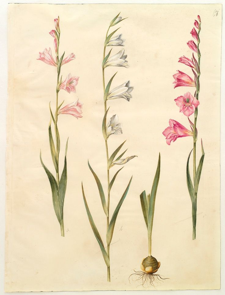 Be884fcfa1271b400e35c8a8abc0f50f Jpg 736 965 Gladiolus Tattoo Birth Flower Tattoos Gladiolus Flower Tattoos