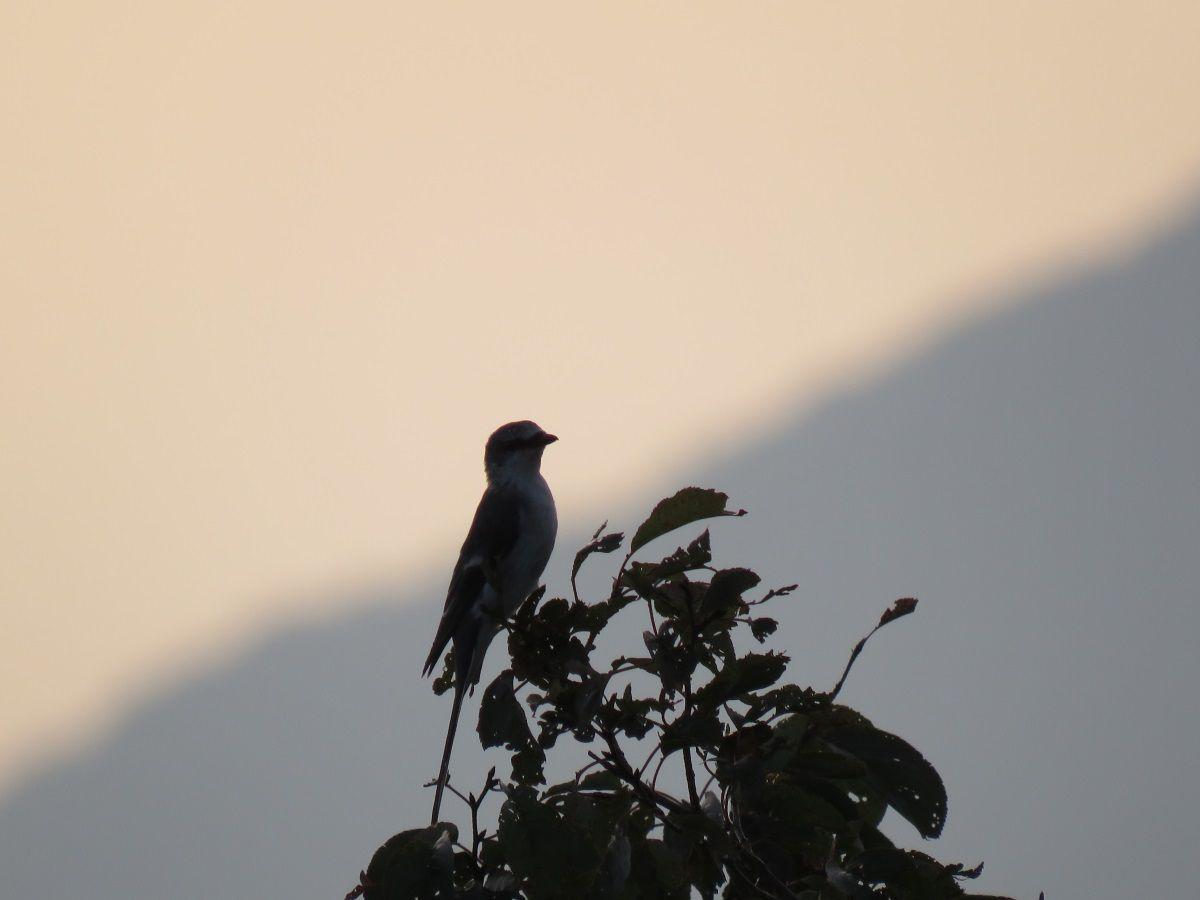 サンショウクイ. ashy minivet on the top of  a cherry tree at the sunset. 4 August 2016.
