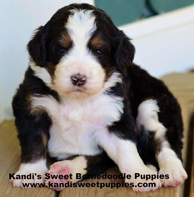 Fantastic Bernese Mountain Dog Chubby Adorable Dog - d42e0e7640acdb2111a7a67cce80a42e  Pictures_166640  .jpg