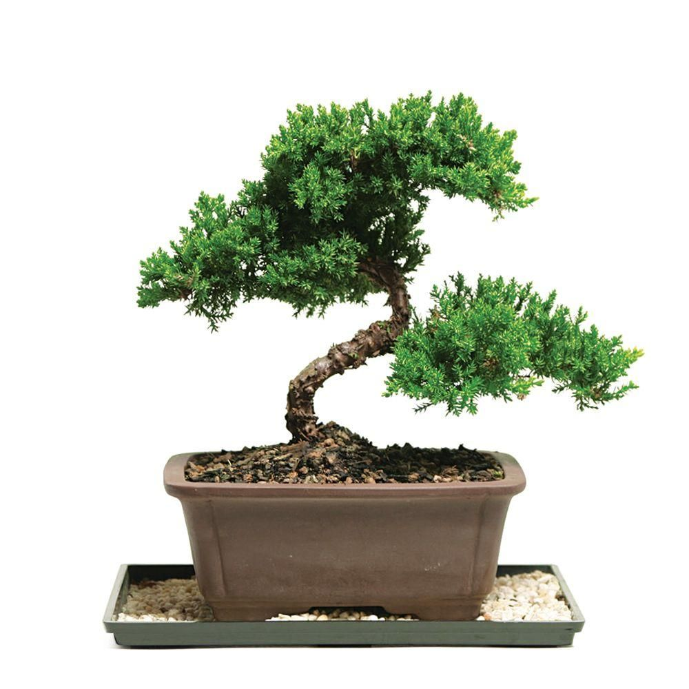 Brussel's Bonsai Green Mound Juniper Bonsai (Outdoor)DT