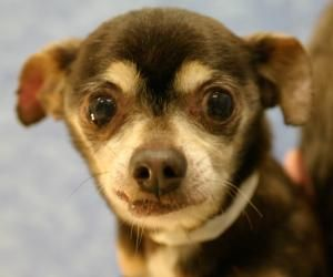 Toby Is An Adoptable Chihuahua Dog In Rochester Ny