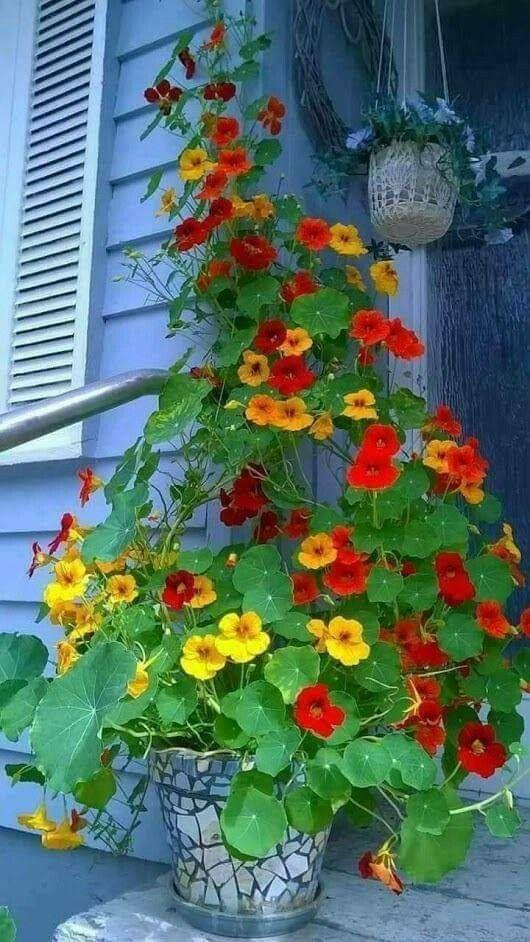 Blühende Zimmerpflanzen, die einfach am Leben zu halten sind, ist ein gemeinsames Bedürfnis der Menschen, die Zimmerpflanzen lieben. Einige Pflanzen (oft als Geschenke gegeben) wie Hortensien ,. #Blütezeit #container gardening #container gardening flowers #container gardening for beginners #container gardening vegetables #Die #Einfach #Halten #Indoor #Leben #Pflanzen