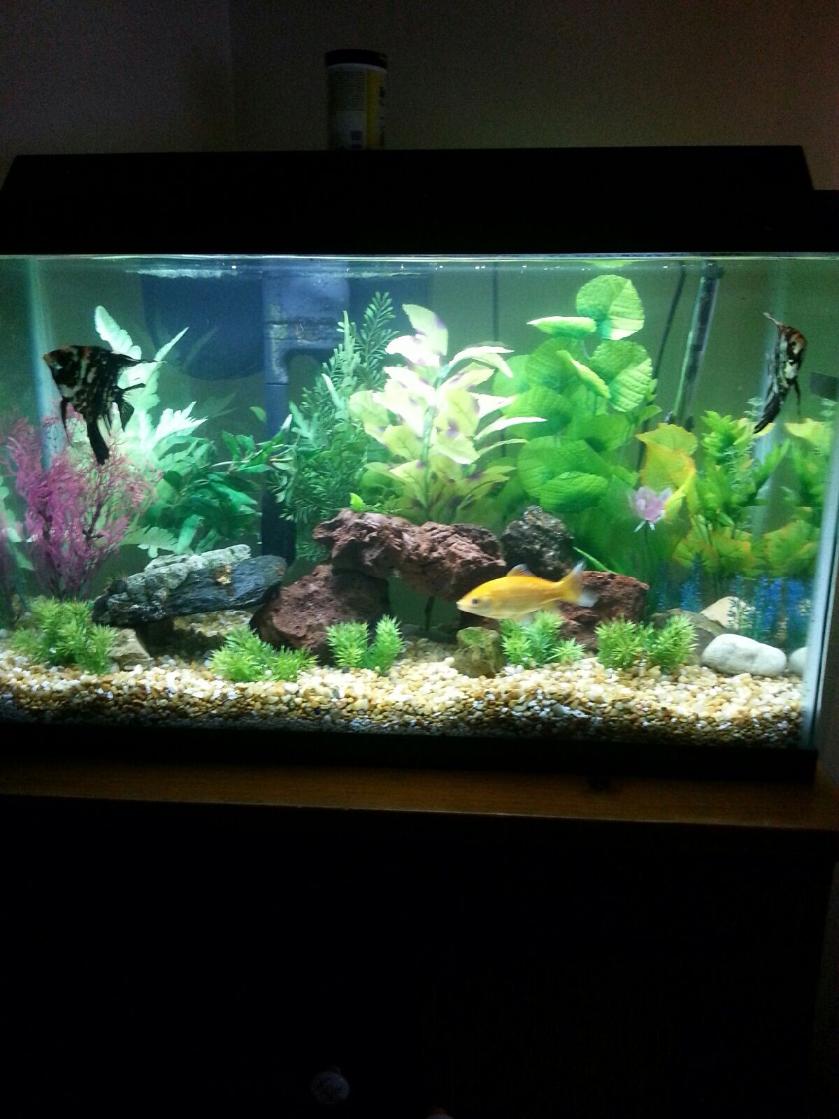 Goldfish pond species decor references - Freshwater Aquarium 30gal With False Plants And Red Lava Rock 2 Angels 25cent Goldfish
