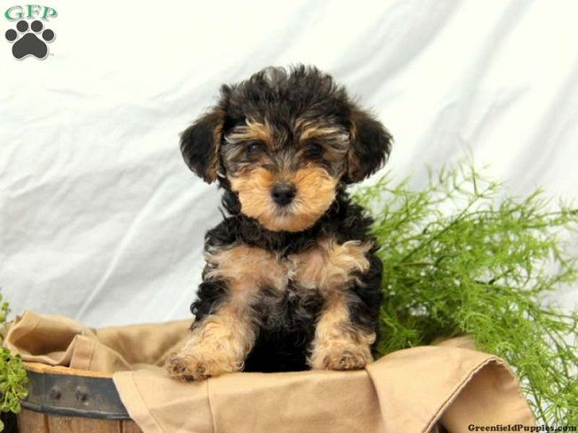 yorkie poo puppies for sale in nc | Zoe Fans Blog | Woof, Meow, oink