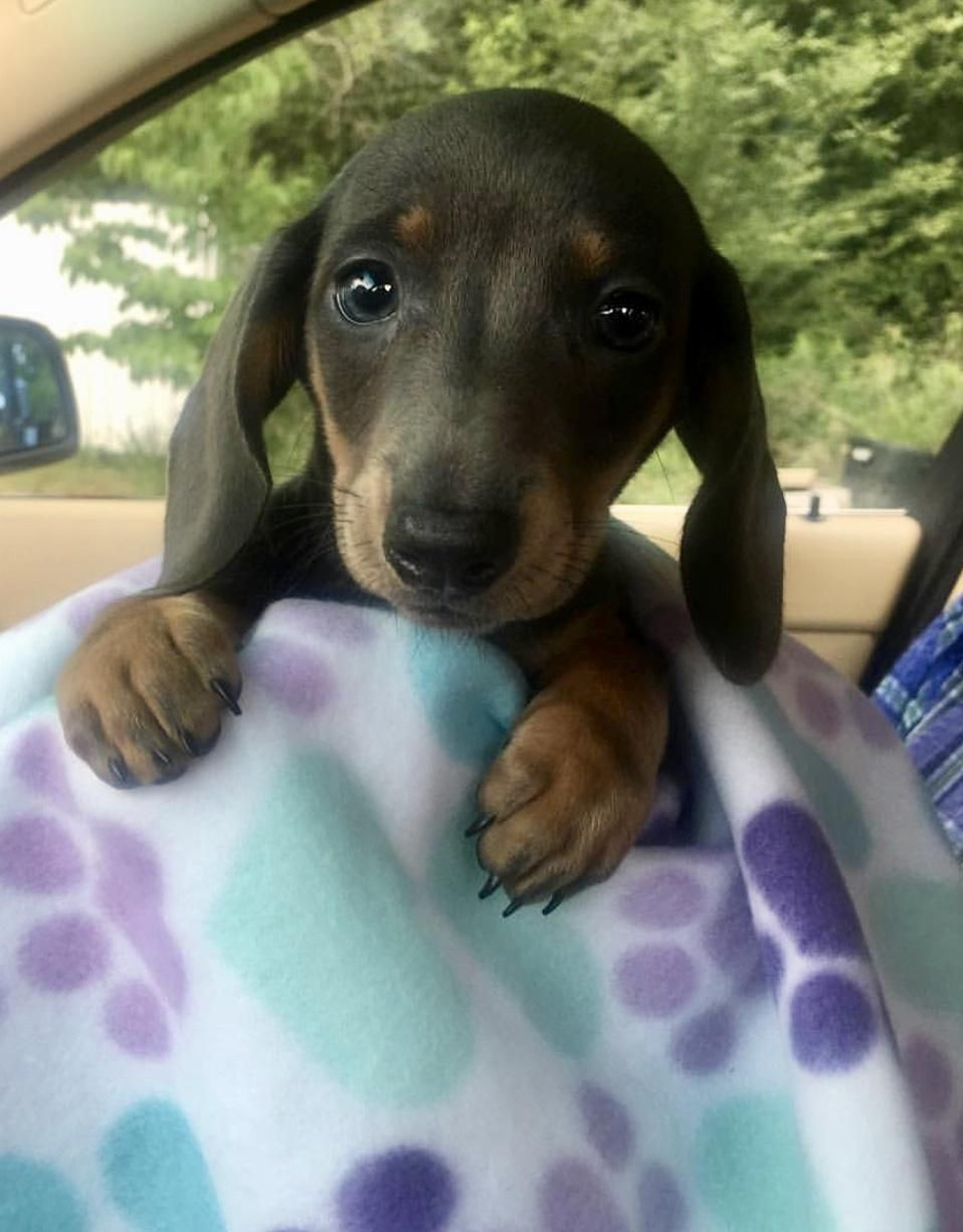 Pin By Judy Seymore On Puppies Dachshund Breed Cute Dogs Dogs