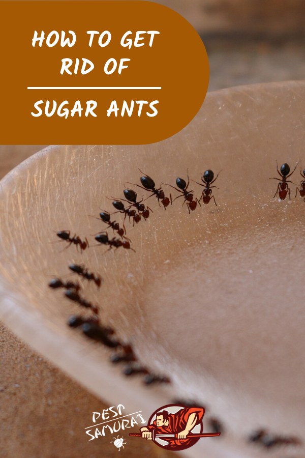 How To Get Rid Of Sugar Ants In The House A Complete Guide In 2020 Sugar Ants Ants Ant Remedies