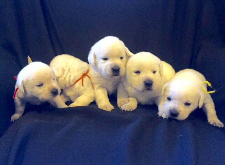 White Lab Puppies Lab Puppies Cute Puppies Puppies
