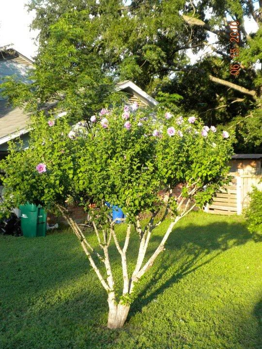 rose of sharon tree Google Search Curb Appeal Pinterest