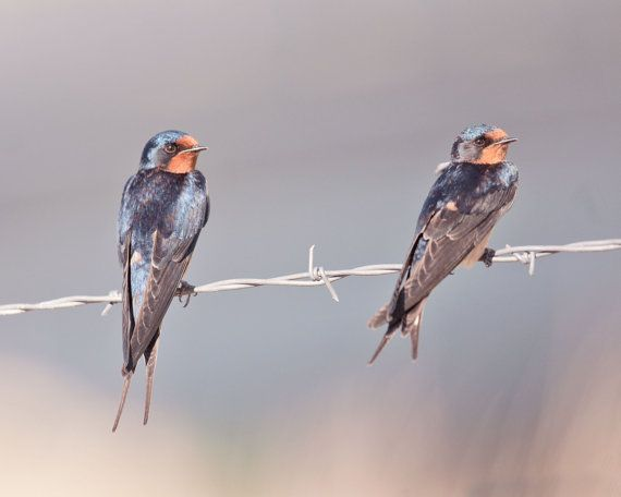 Two Swallows Photograph Animal Photography Bird by ApplesAndOats, $25.00