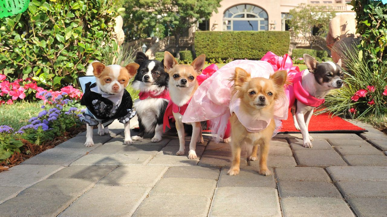 Beverly Hills Chihuahua 3 Viva La Fiesta With Images Dog