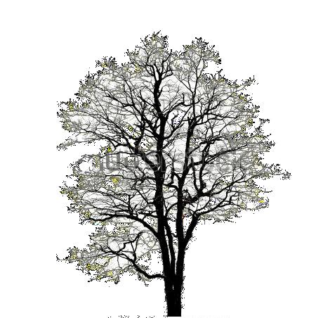 Leafless Oak2 Png Old Trees Winter Trees Tree Id