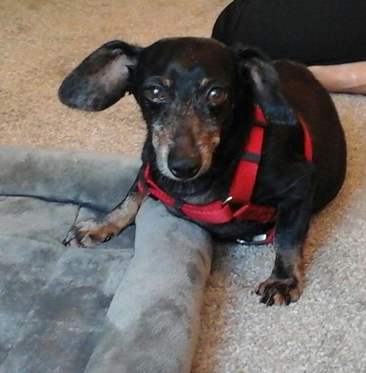 Dachshund Dog For Adoption In Hot Springs Village Ar Adn 678557