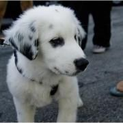 Australian Shepherd Lab Mix Australian Shepherd And Labrador Mix
