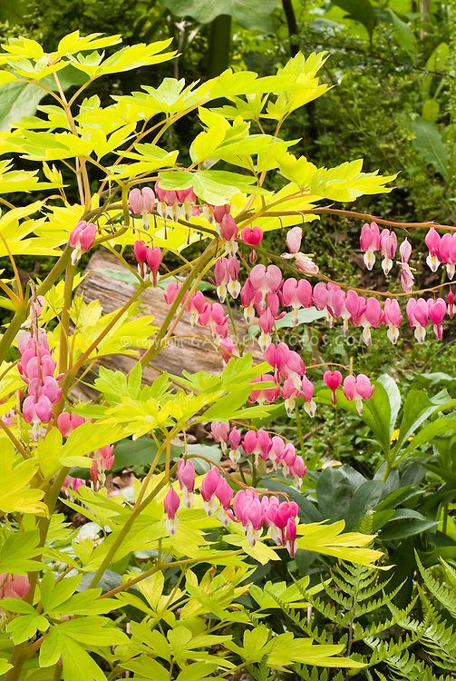 Dicentra Spectabilis Gold Heart Lamprocapnos Yellow Foliage And Pink Bleeding Heart Flowers Bleeding Heart Bleeding Heart Flower Flower Stock Photography