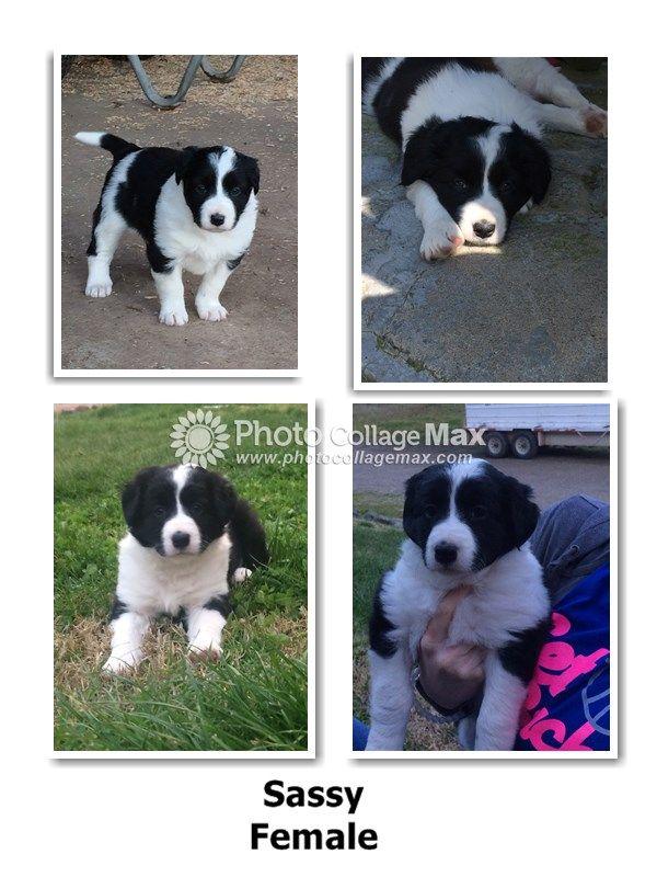 Litter Of 4 Border Collie Puppies For Sale In Clovis Ca Adn 25702 On Puppyfinder Com Gender Female Age 6 Puppies For Sale Collie Puppies For Sale Puppies