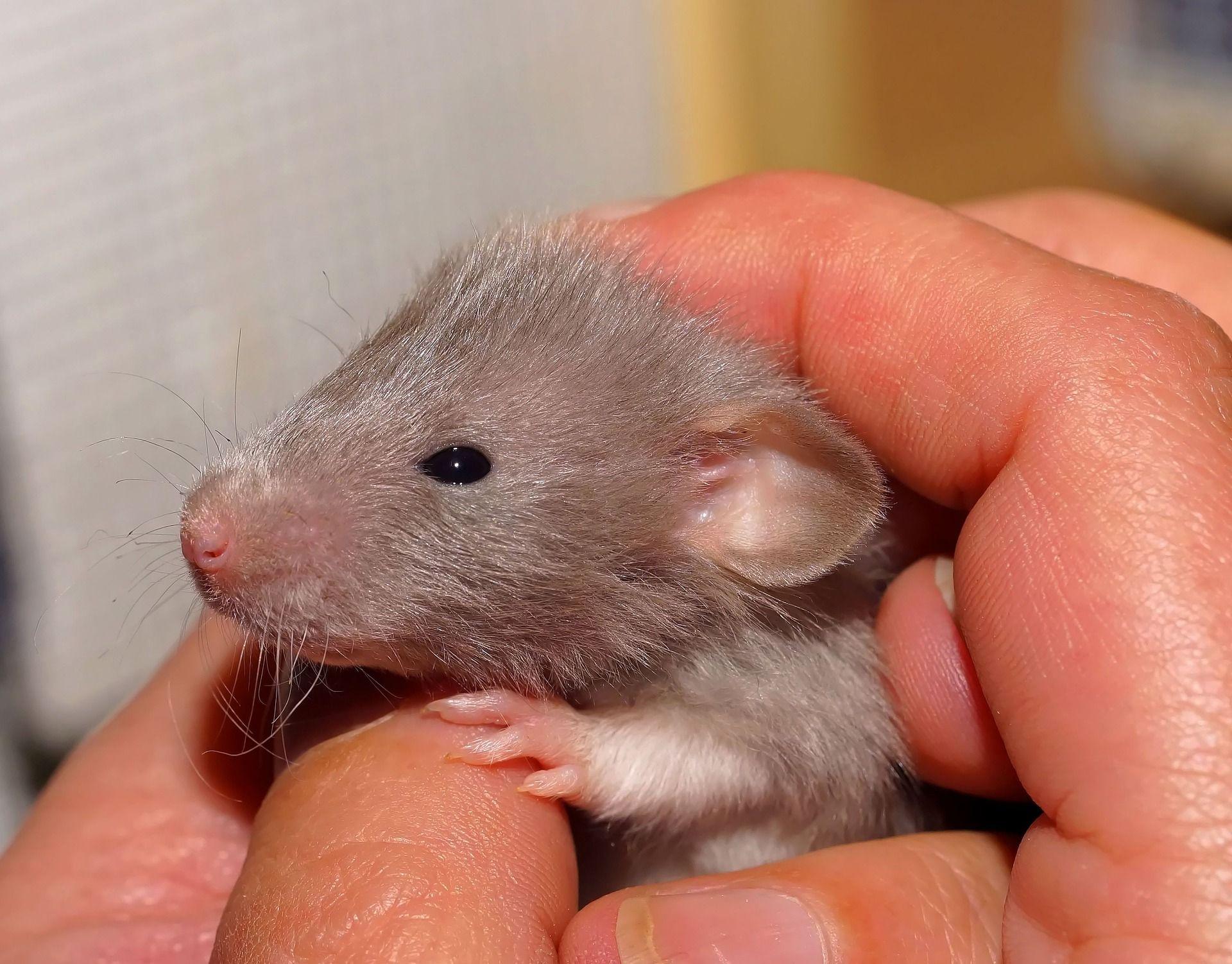 Ratte Baby Cute Farbratten Ratte Haustier Ausgestopftes Tier