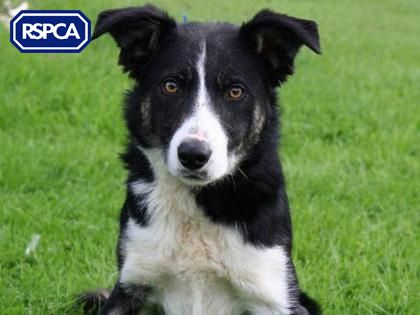 Moss Border Collie 2 Years Chesterfield Animal Centre Animals