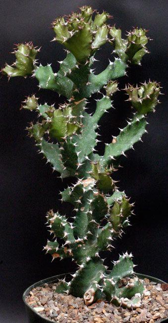 Euphorbia Tortilis Euphorbia Lover Pinterest Cactus Cactus Y - Cactus-seco