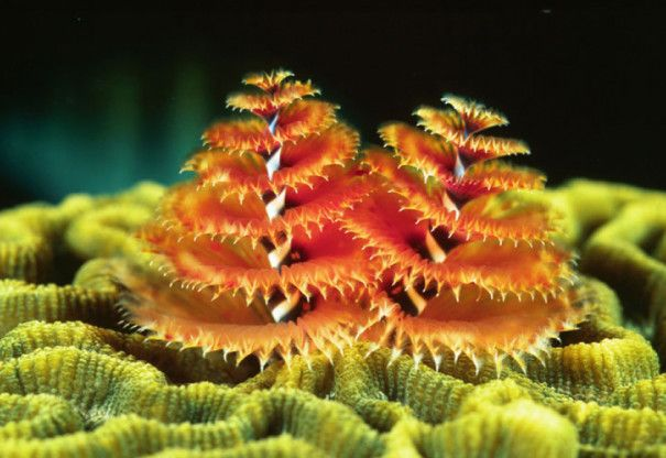 Marine Worms Look Like Christmas Trees In 2020 Marine Christmas Marine Sea And Ocean