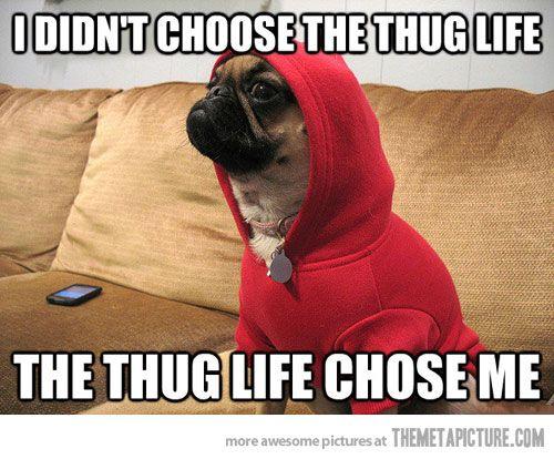 Thug Dog Pugs Funny Animals Pug Dog