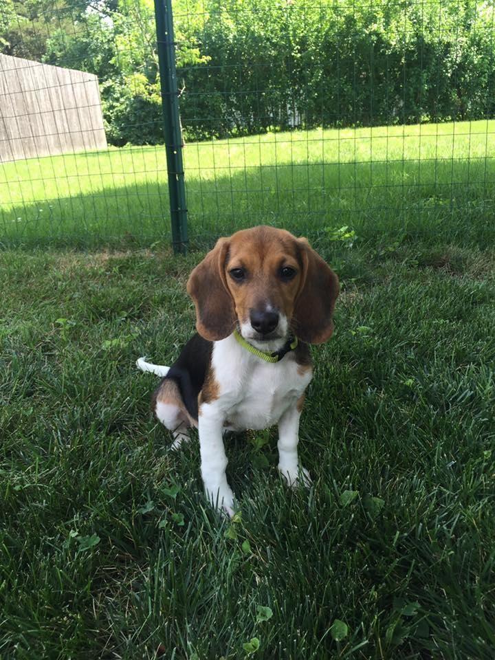 Adopt Annie On Adoptable Beagle Pet Finder Beagle Dog