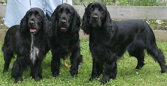 Black Field Spaniels Field Spaniel Spaniel Spaniel Puppies