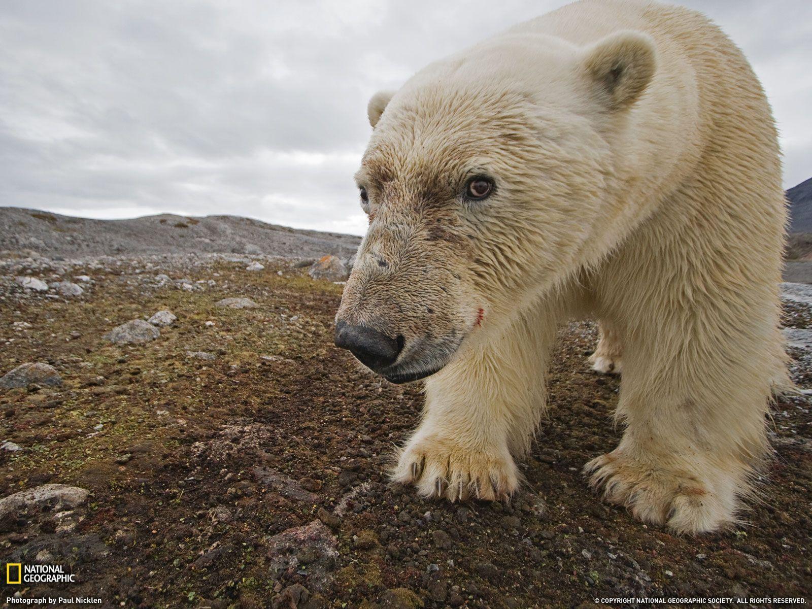 Polar bear from Svalbard, Norway. Hello