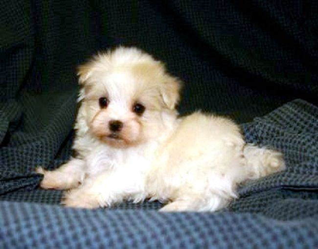 Teacup Yorkie Poo Puppies White Zoe Fans Blog Yorkie Poo