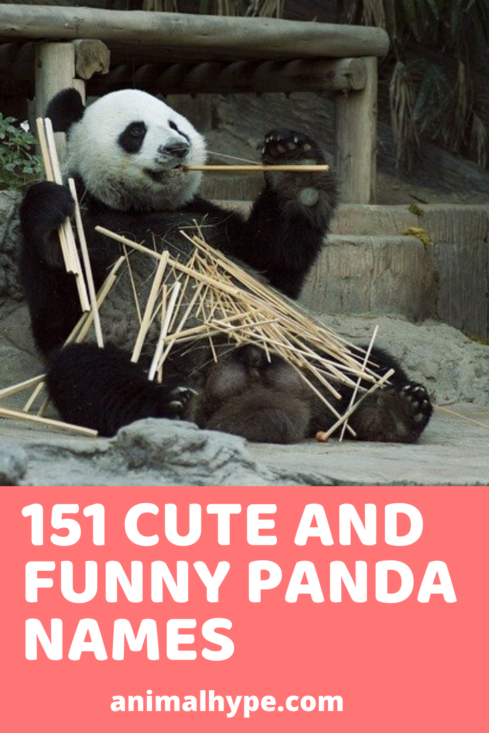 151 Cute and Funny Panda Names in 2020 (With images